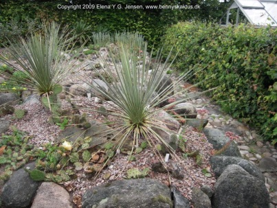 C:\Users\Acer\Pictures\921_Yucca_glauca_2009-07-10_0059_Elena.jpg