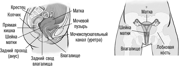 zheleza-mezhdu-anusom-i-vaginoy